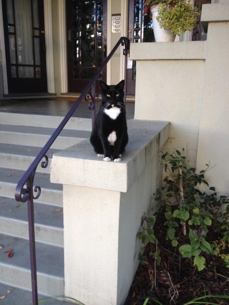 Cool tuxedo cat!