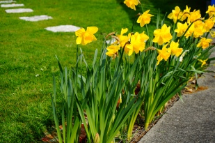 Daffodils - A sure sign of Spring!