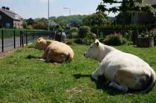 Cows in a roadside farmyard