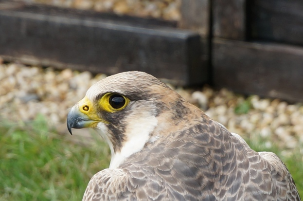 Peregrine Falcon at Reichsburg Castle