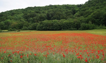 Poppy fields forever!