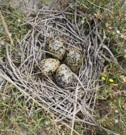 Pemilongo nests line the salt beds in June